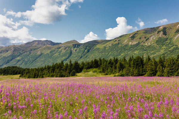 Field 0f Fireweed (Epilobium augustifolium) at Turnagain Pass in Southcentral Alaska.  Summer. Afternoon.