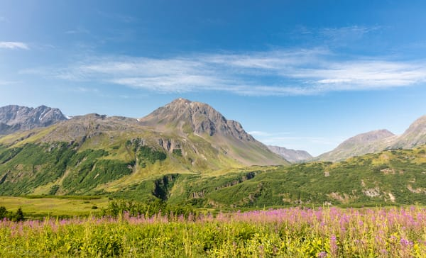 Fireweed and Resurrection Peaks along the Lost Lake trail in Southcentral Alaska. Summer. Morning.