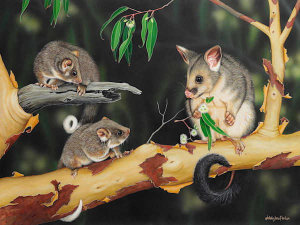 Can we have some? - 2 common ringtail possum with a common brushtail possum  - Australian Native Wildlife
