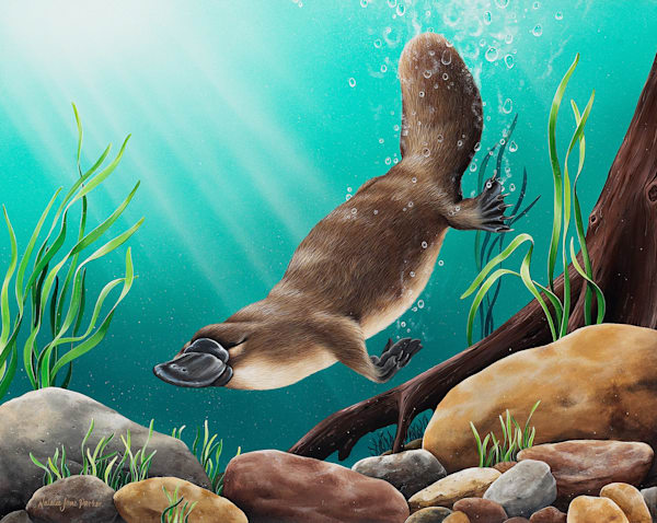 Pristine Waters - Platypus - Australian Native Wildlife