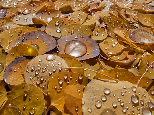 Aspen leaves after a storm II