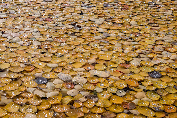 Aspen Leaves After A Storm Photography Art | Peter Batty Photography
