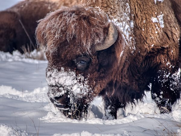 Bison in the snow II