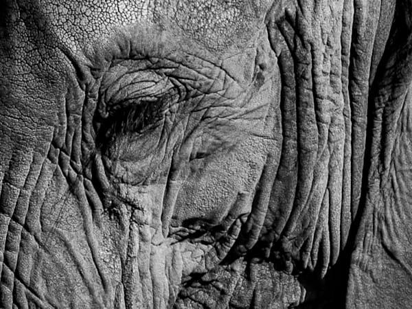 Elephant-Wrinkles