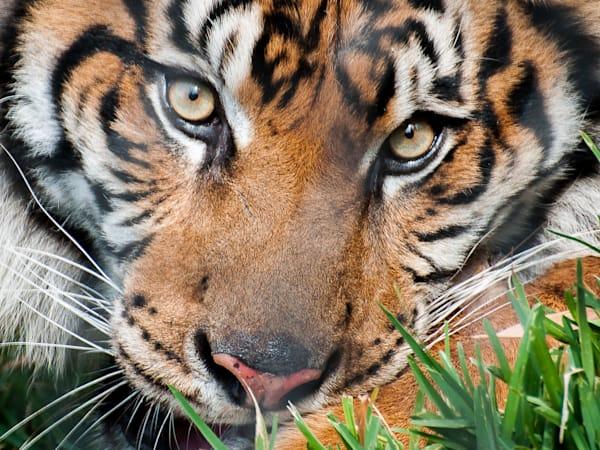 Tiger-Eyes-Photograph