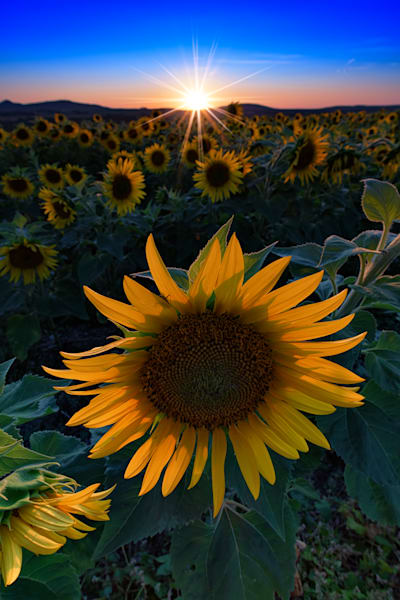Sunflower Sunset | Shop Photography by Rick Berk