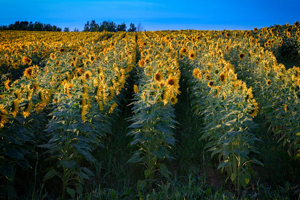 Rows of Sunflowers | Shop Photography by Rick Berk