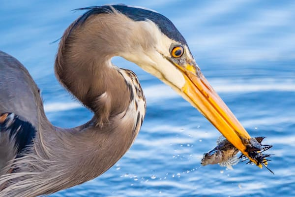 Great Blue Heron catching a fish, in Stanley Park in Vancouver