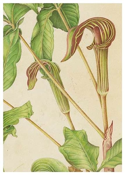 Jack In The Pulpit | Jetart Company