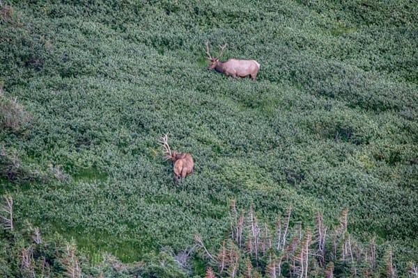 Bull Elks Grazing