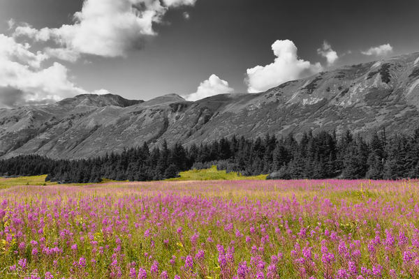 Field of Fireweed (Epilobium augustifolium) at Turnagain Pass in Southcentral Alaska.  Summer. Afternoon.