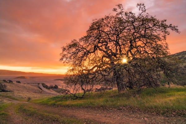 'The Oak & The Sun' Photograph by Jess Santos for sale as Fine Art