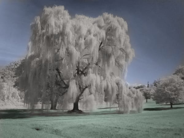 Weeping Willow Tree   Infrared Photography Art | Drew Campbell Photography