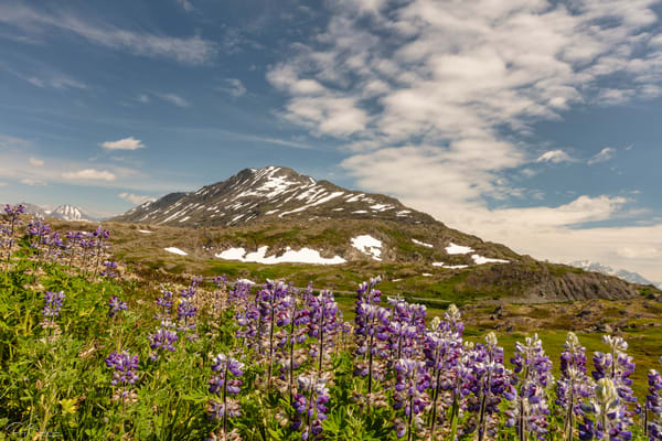 Arctic Lupine (Lupinus arcticus) at Thompson Pass in Southcentral Alaska. Summer. Afternoon.