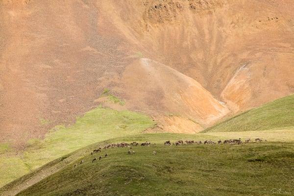 Denali Caribou Herd Photography Art | Ray Bulson Photography