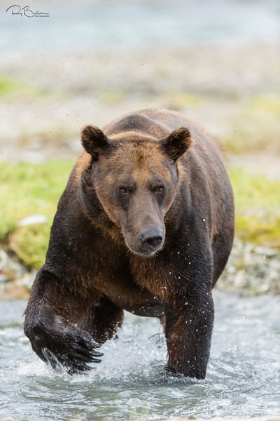 Brown bear (Ursus arctos) forages for salmon in Geographic Creek at Geographic Harbor in Katmai National Park in Southwestern Alaska. Summer. Afternoon.