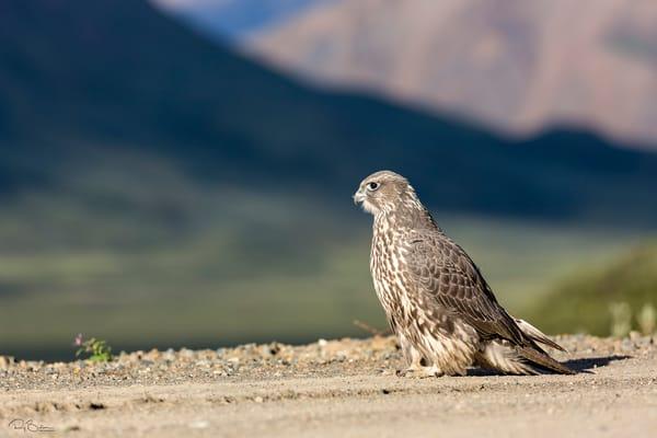 Juvenile Gyrfalcon (Falco rusticolus) on Denali Park Road at Polychrome Overlook in Denali National Park in Southcentral Alaska. Summer. Morning.