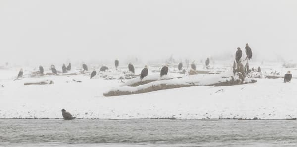 Bald Eagles (Haliaeetus leucocephalus) perched along the Chilkat River in the Chilkat Bald Eagle Preserve take a break from feeding on salmon during a snowstorm in Southeast Alaska. Winter. Morning.
