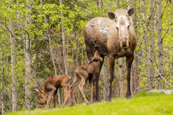 Cow moose (Alces alces) and newborn calves in yard in Eagle River in Southcentral Alaska. Spring. Afternoon.