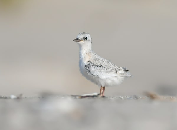Common Tern Chick Art | Sarah E. Devlin Photography