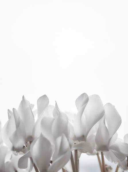 Cyclamen Art | karlherber