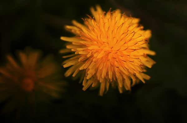 Dandelion Blossom Art | Drew Campbell Photography
