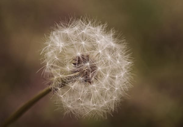 Dandelion In Seed Art | Drew Campbell Photography