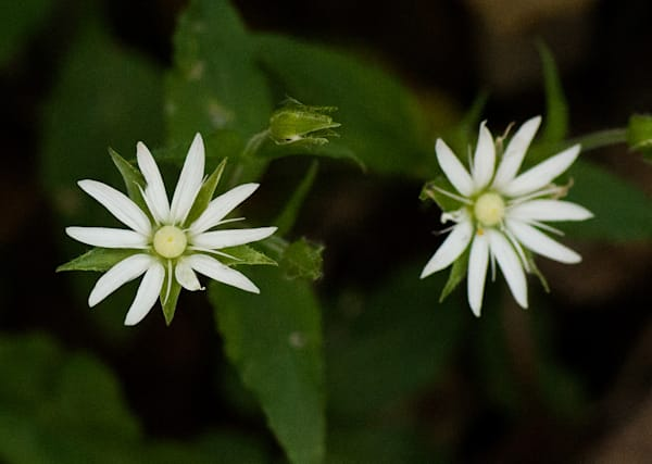 Star Chickweed Art | Drew Campbell Photography