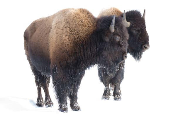 Bison Standing In Snow Art | Drew Campbell Photography