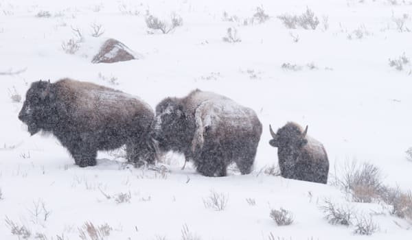 Bison In Snow Photography Art | Drew Campbell Photography