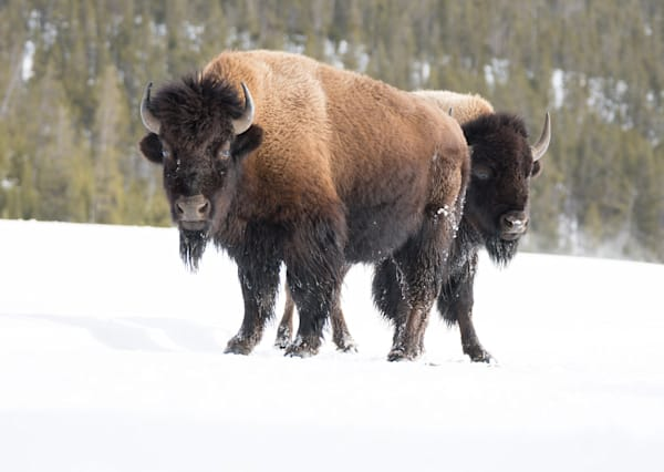 Bison Art | Drew Campbell Photography