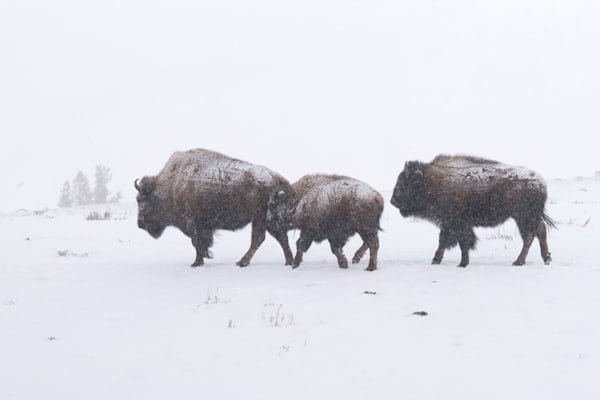 Bison Walking In Snow Art | Drew Campbell Photography