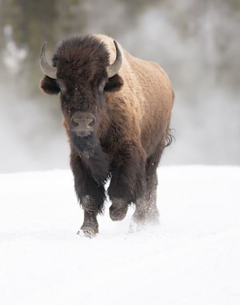 Bison Trotting In Snow Art | Drew Campbell Photography