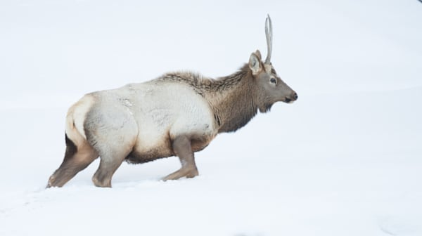 Elk2 Art | Drew Campbell Photography