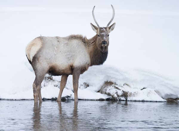 Elk Photography Art | Drew Campbell Photography