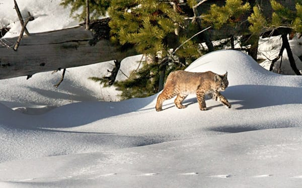 Bobcat Stalking Art | Drew Campbell Photography