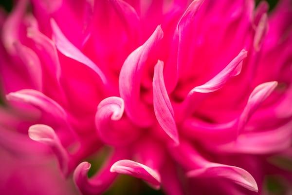 Thuya in Bloom No. 2 print | Richard Crable Fine Art Photography