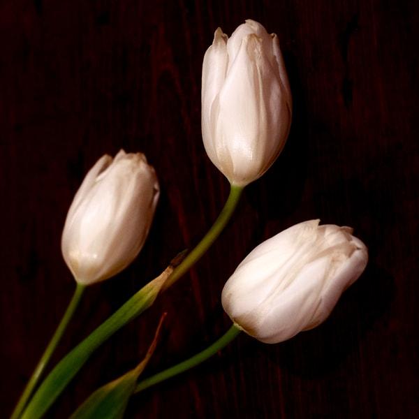 Three Tulips print | Richard Crable Fine Art Photography
