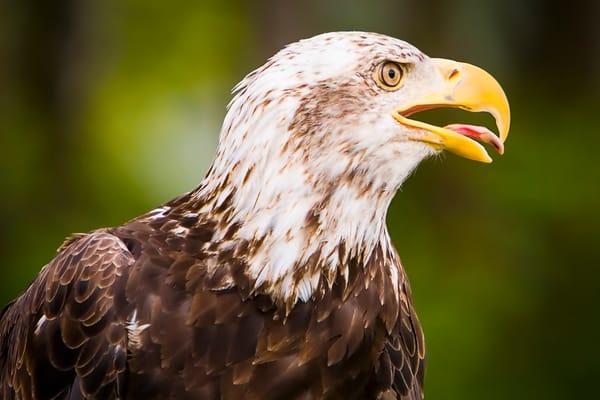 Bald Eagle print | Richard Crable Fine Art Photography