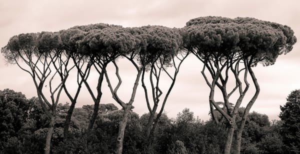 Stone Pines in Rome | Richard Crable Fine Art Photography