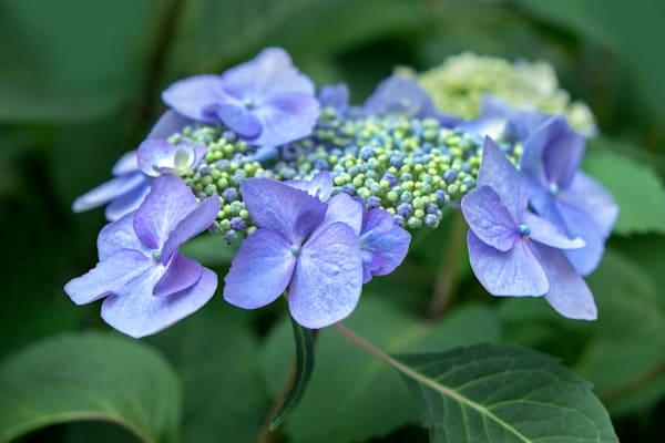 Blue Hydrangea No. 1