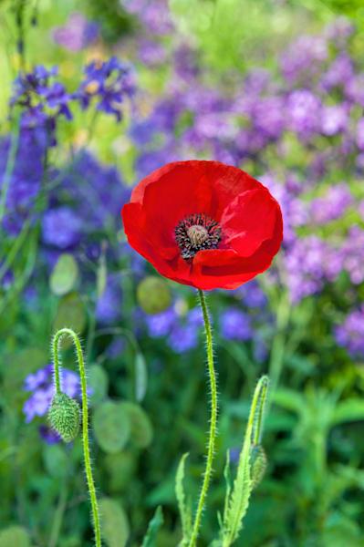 Bold Red Poppy