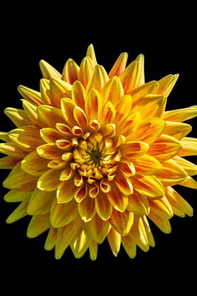 Brilliant Yellow Dahlia