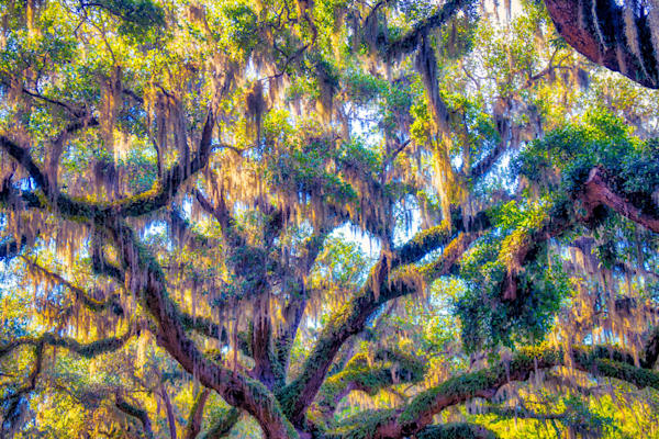Glowing Live Oak