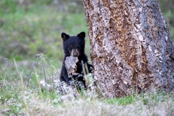 Bear Cub | Robbie George Photography