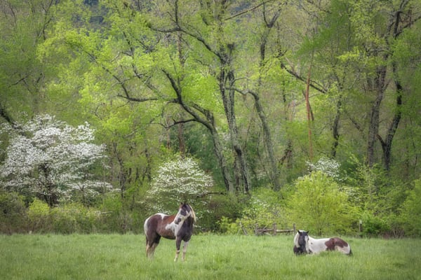 Keeping Watch | Horses in The Great Smoky Mountains National Park
