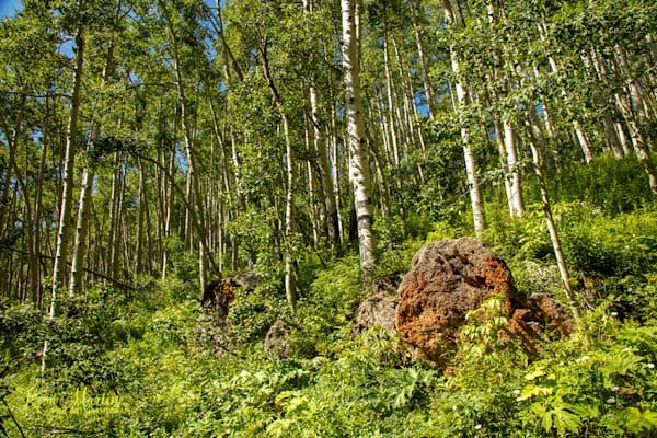 Aspen and  Rocks Photo 6806   Colorado Photography   Koral Martin Fine Art Photography