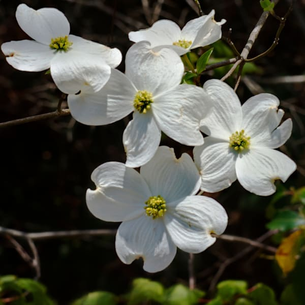 Dogwood Blooms Art | Drew Campbell Photography