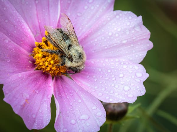 Cosmo Bee
