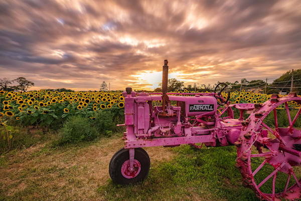 Pink Tractor Sunflowers